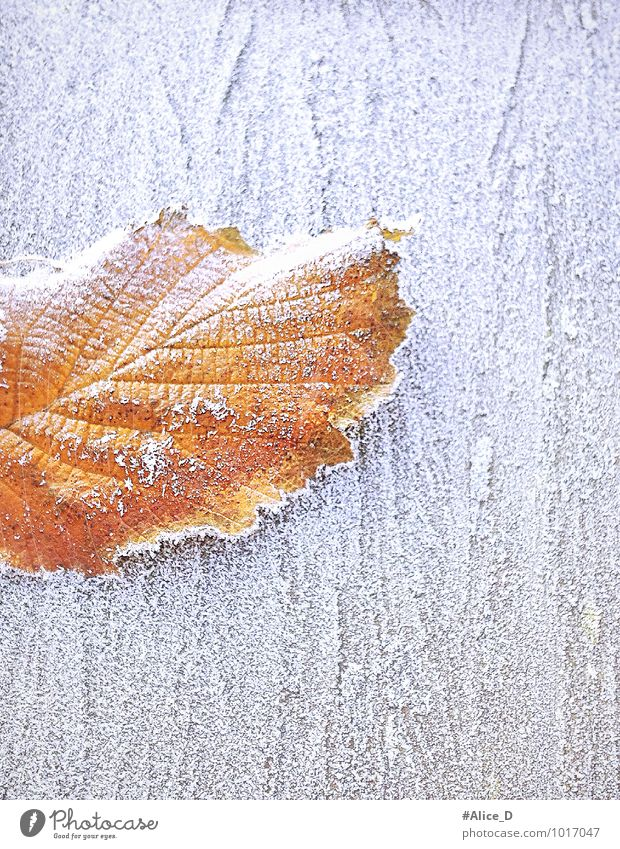 """winter foliage Nature Winter Weather Ice Frost Leaf Wood Exceptional Natural Brown Gold Orange White """"winter time frosty cold frost Season nature details"""