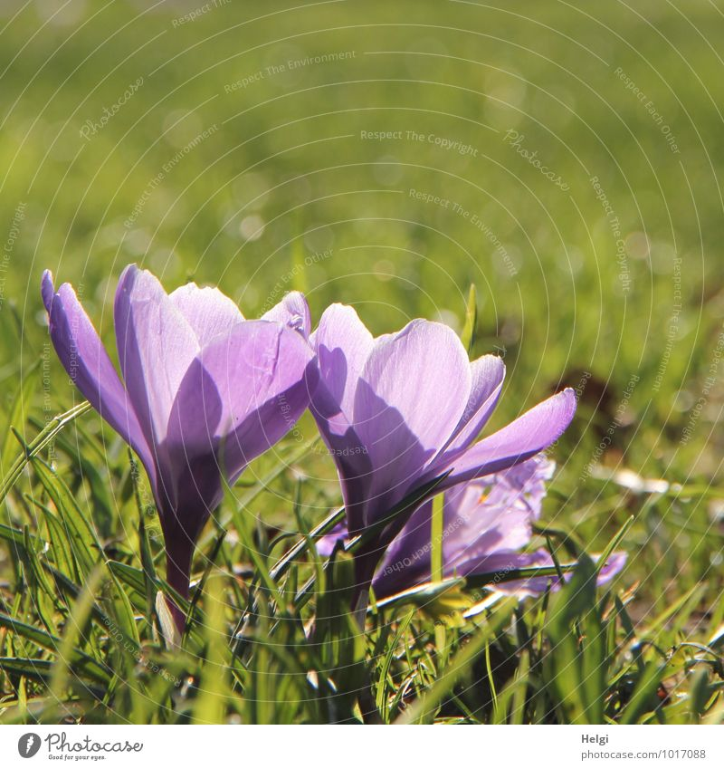 purple Environment Nature Plant Spring Beautiful weather Flower Grass Blossom Crocus Spring flowering plant Park Illuminate Stand Growth Esthetic Small Natural