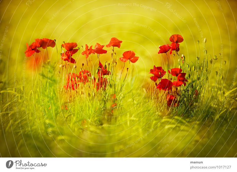 dashes of colour Nature Spring Summer Plant Flower Leaf Blossom Agricultural crop Poppy blossom Wheatfield Field Natural Yellow Gold Green Red Colour photo