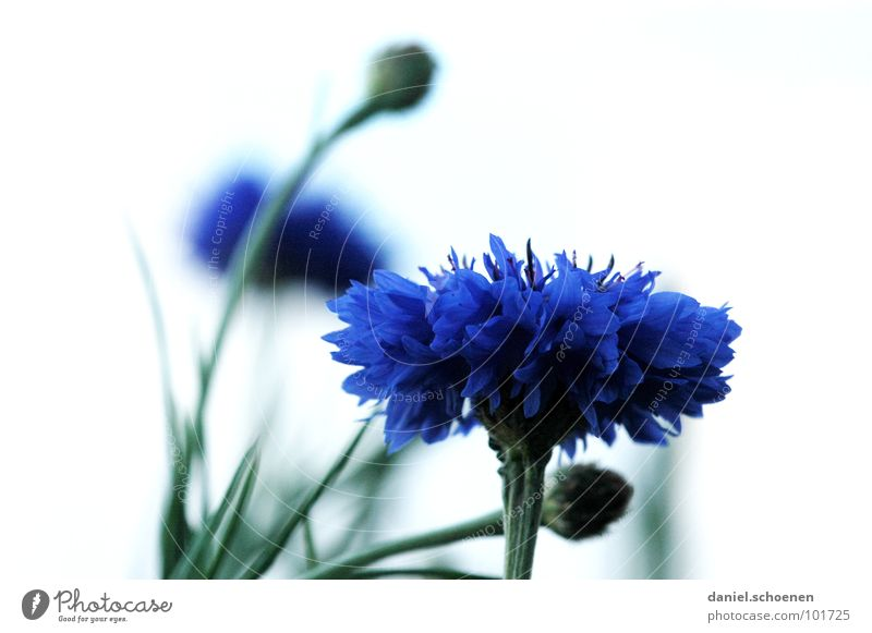 cornflower Blossom Flower Abstract Background picture Blur Violet Green Spring Summer Cornflower White Detail Macro (Extreme close-up) Blue