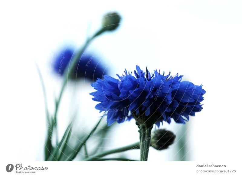 White Green Blue Summer Flower Blossom Spring Background picture Violet Cornflower