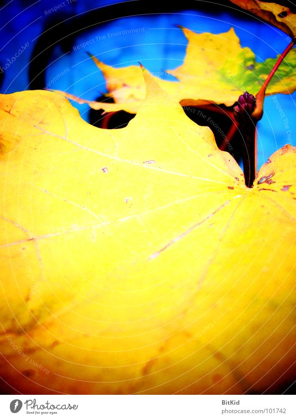 Blue Leaf Yellow Autumn Maple tree Wayside