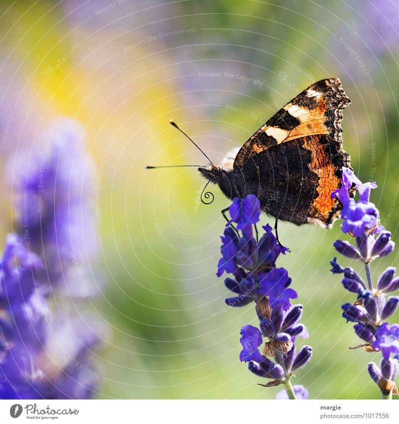 A butterfly on lavender flowers Environment Nature Plant Animal Summer Flower Blossom Lavender Wild animal Butterfly 1 Esthetic Blue pretty Freedom Joy