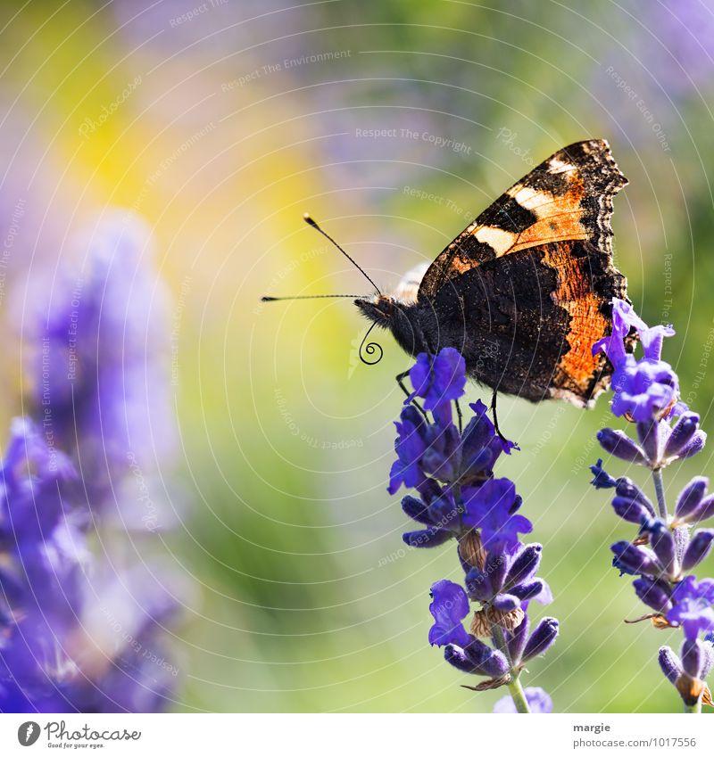 butterfly Environment Nature Plant Animal Summer Flower Blossom Lavender Wild animal Butterfly 1 Esthetic Blue Beautiful Freedom Joy Curiosity Feeler