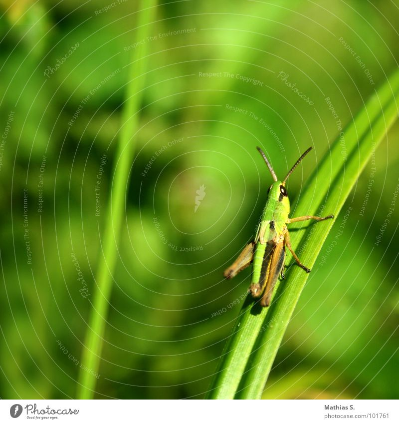 Green Meadow Eyes Grass To hold on Insect Blade of grass Feeler Stick Locust Pests Plagues