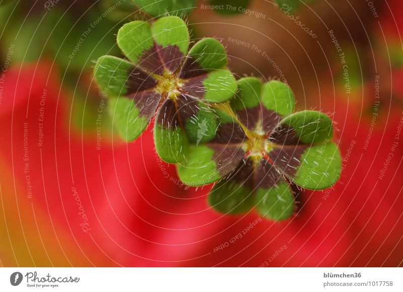 Good luck and good blessing... Timmitom! Plant Cloverleaf Four-leafed clover Four-leaved Natural Good luck charm Happy Congratulations Symbols and metaphors