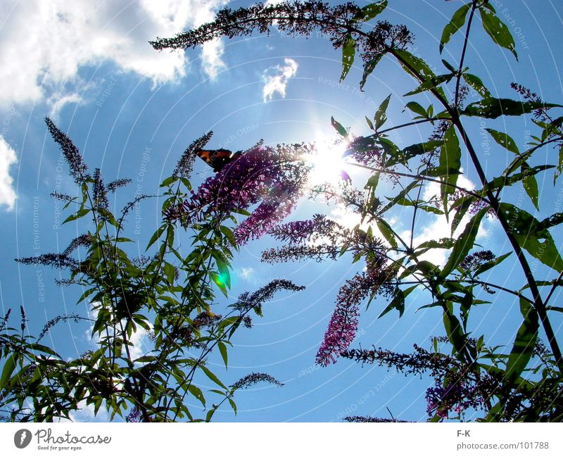 look up to the sky... Summer Sun Nature Sky Clouds Butterfly Blue Green Violet Insect Peacock butterfly Lilac Sunbeam