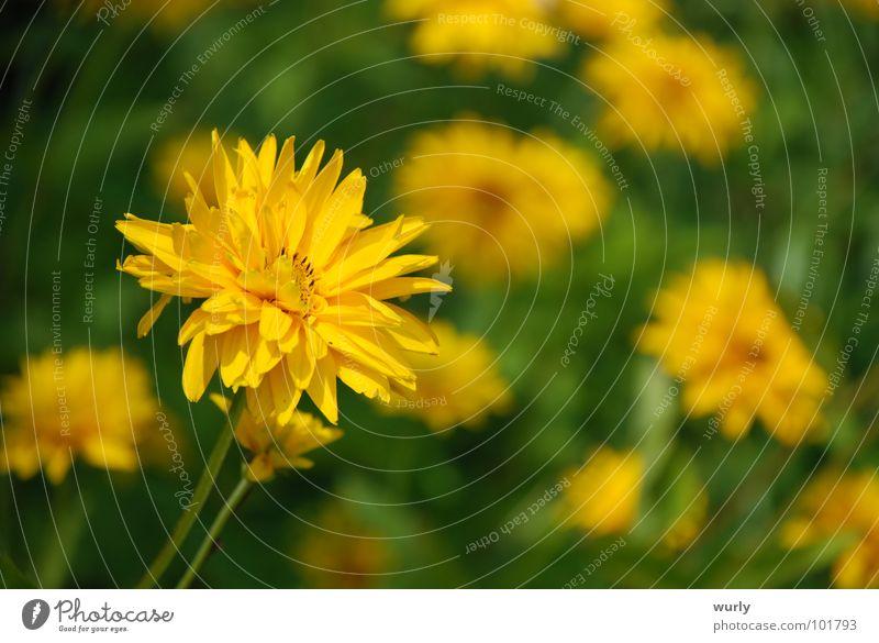 Plant Green Summer Flower Yellow Blossom Spring Meadow Lighting Grass Garden Lamp Crazy Dandelion Flower meadow Bushy