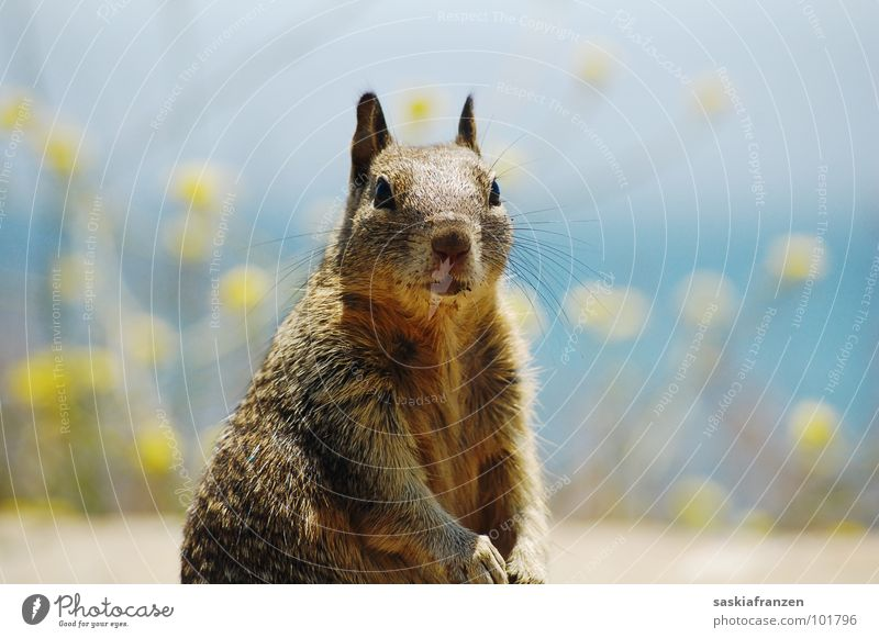 Water Sky Ocean Flower Blue Animal Yellow Brown Coast USA Pelt Curiosity Mammal Ground squirrel