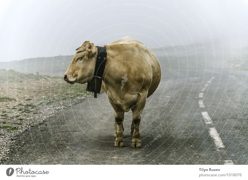 Cow on the road Beautiful Mountain Nature Animal Winter Fog Street Lanes & trails Highway Wet Farm Single cold Height staying Lost colorful Navarra Spain Stand