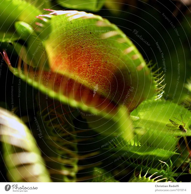 Green Plant Red Nutrition Dangerous Captured To feed Ambush Carnivorous plants Venus' flytrap