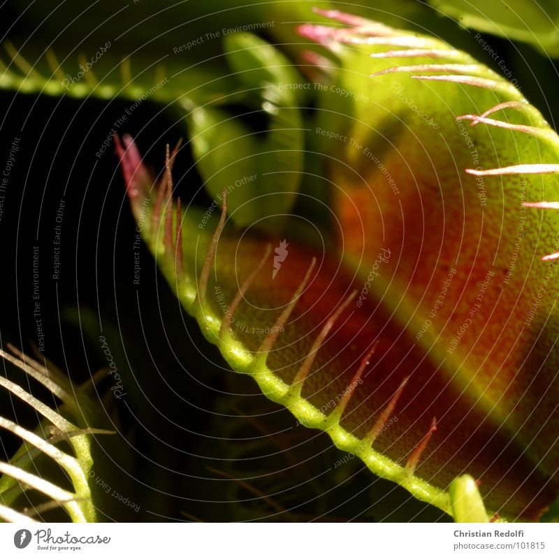 Green Plant Red Nutrition Captured To feed Ambush Carnivorous plants Venus' flytrap