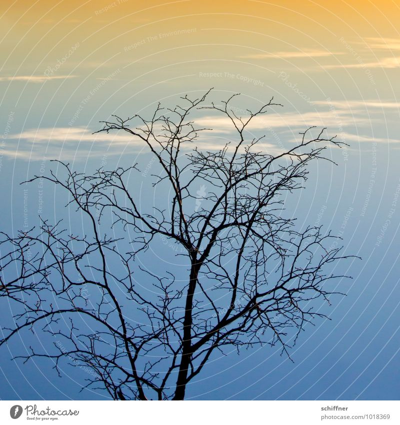 Sky branches, top heavy Plant Clouds Sunrise Sunset Winter Climate Climate change Weather Beautiful weather Tree Blue Orange Evening Dusk On the head Branch