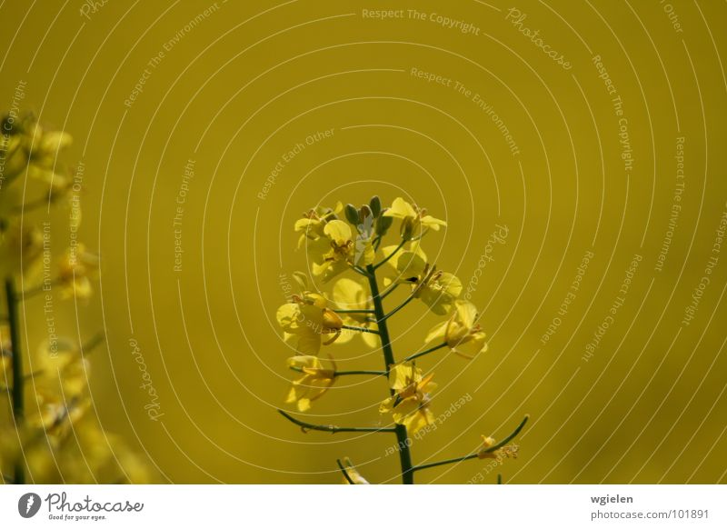 Nature Flower Summer Calm Yellow Canola