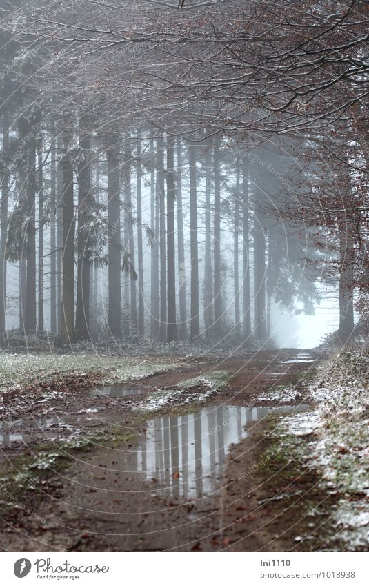 misty mood Nature Landscape Plant Earth Winter Fog Snow Tree Grass Spruce and beech Field Forest Edge of the forest clearing Cold Wet Natural Beautiful Blue