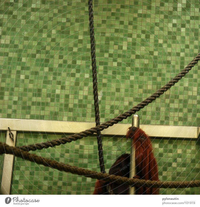 tile cage Monkeys Cage Zoo Orang-utan Animal Green White Sterile Hand Pelt Mammal Rope Climbing Tile Metal