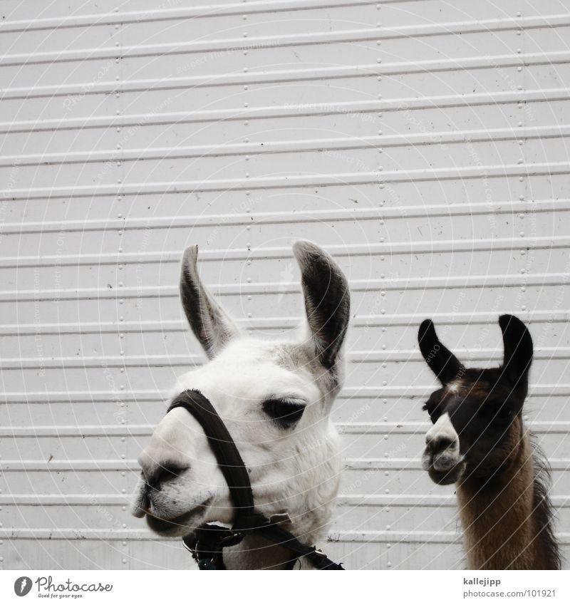 lama in lima Lima Peru Inca Spit Animal Farm animal Circus act Captured Looking Llama Andes circus animal Observe kallejipp