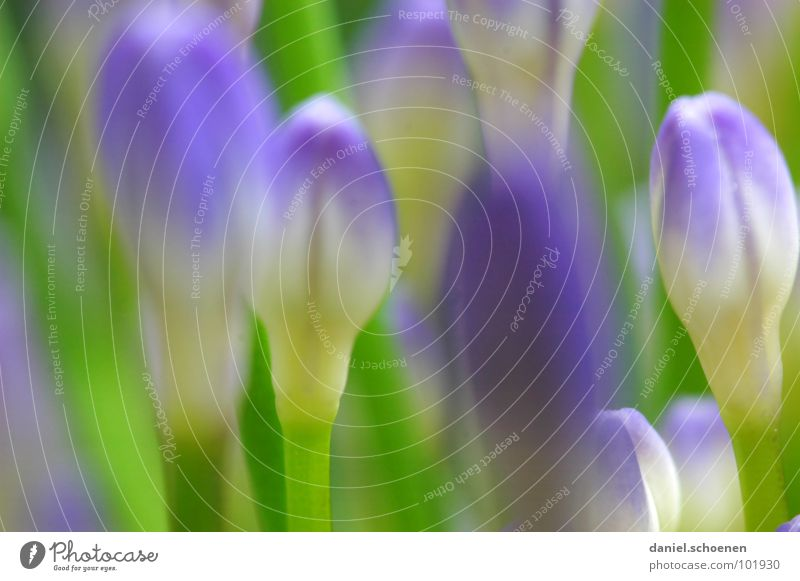 buds Blossom Flower Abstract Background picture Blur Violet Green Spring Summer Lily Pea green Macro (Extreme close-up) Close-up Detail Blue Bud decorative lily