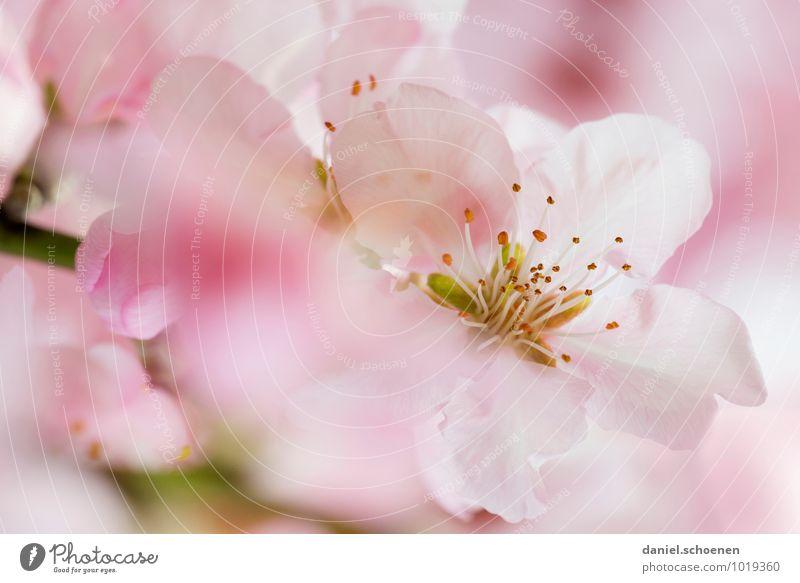 Nature Plant White Blossom Spring Bright Pink Bushes