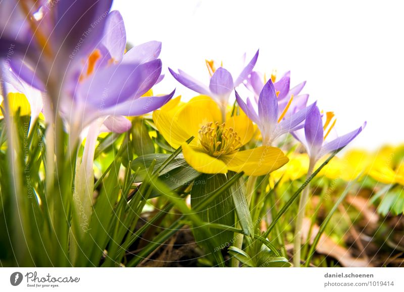 Plant Green Leaf Yellow Grass Blossom Spring Violet