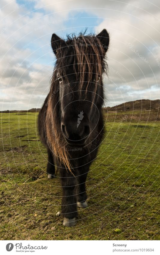 Shetland Pony #7 Nature Landscape Plant Animal Sand Sun Sunrise Sunset Beautiful weather Grass Meadow Beach dune Horse Bangs 1 Looking Stand Self-confident