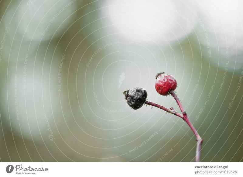 black-red Nature Plant Autumn Wild plant Rose hip Branch Twig Stalk Thin Simple Together Small Dry Green Red Black Death Loneliness Exhaustion