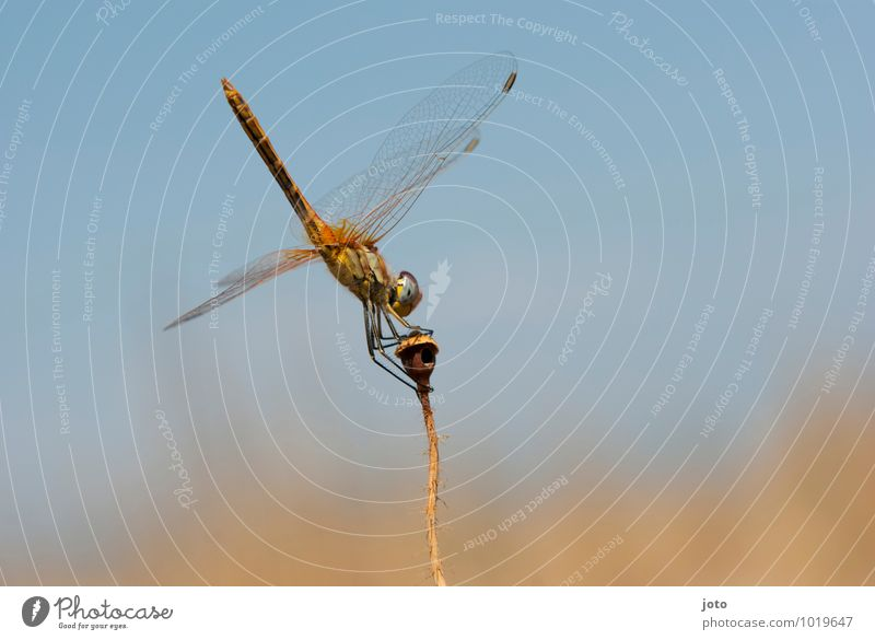 odonata Elegant Harmonious Vacation & Travel Far-off places Summer vacation Cloudless sky Sun Beautiful weather Plant Meadow Animal Dragonfly Dragonfly wings 1