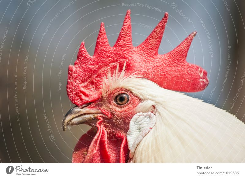 Proud cock Farm animal Bird Animal face 1 Natural Pride Rooster gockel Head Cockscomb Colour photo Exterior shot Close-up Detail Day Central perspective