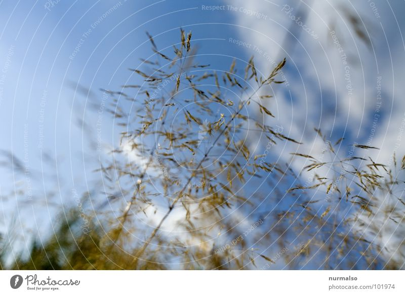 Sky Blue Joy Grass Free Seed Fine Airy