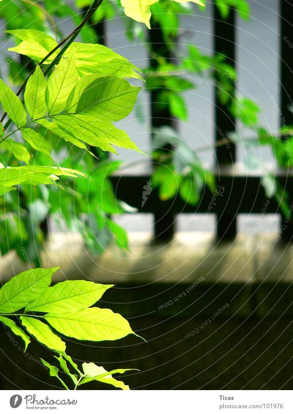 Green Plant Summer Leaf Garden Wood Wall (barrier) Safety Fence Wooden board Wood flour Front garden Garden fence