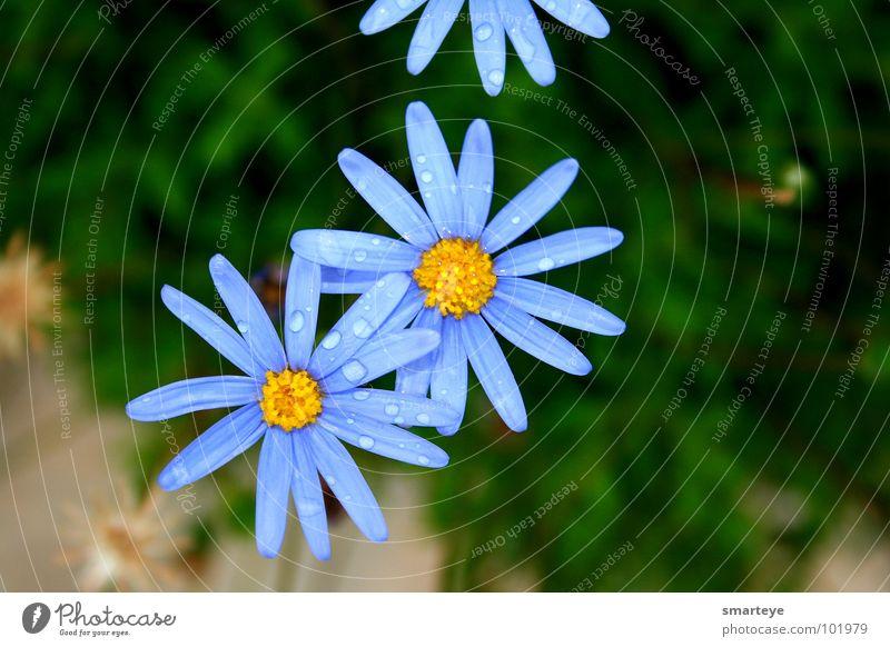 blue flower Flower Beautiful Wet Yellow Plant Blue Rain Drops of water Idyll Garden Water