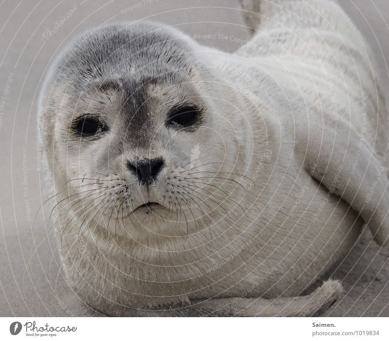 moin! Nature Animal Sand Wild animal Animal face Pelt Seals 1 Lie Looking Curiosity Cute Soft Freedom Serene Environment Marine animal Baby animal Eyes
