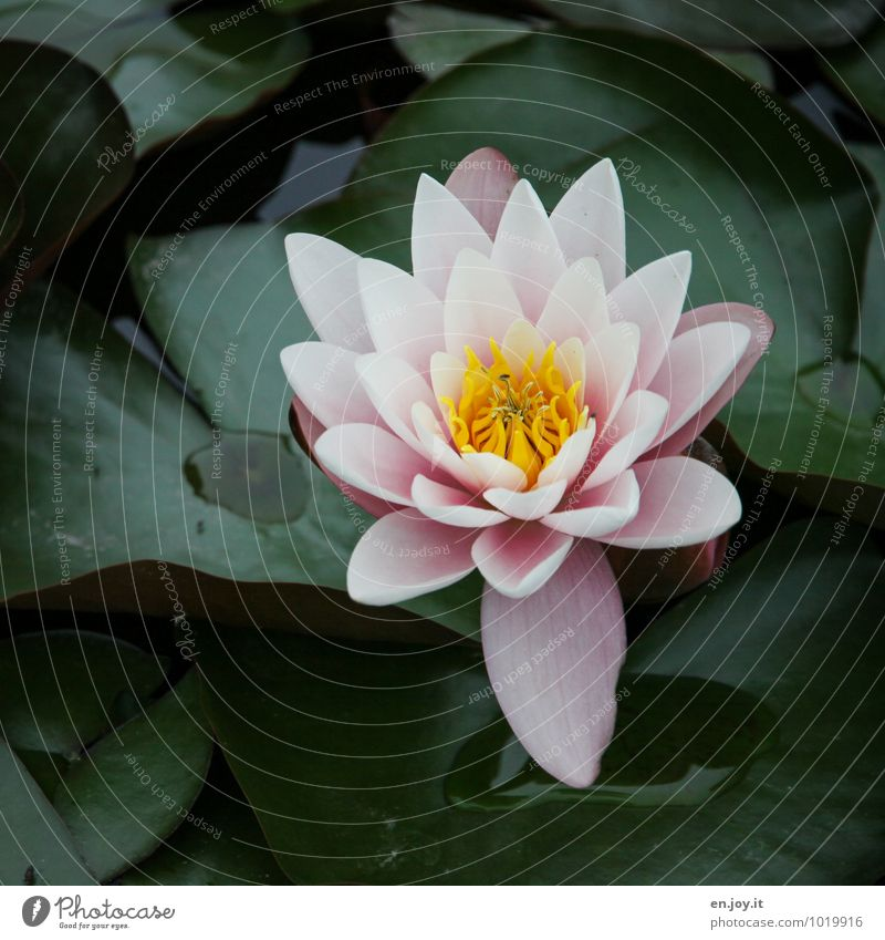 flowerage Wellness Relaxation Calm Meditation Nature Plant Flower Aquatic plant Water lily Pond Blossoming Esthetic Beautiful Kitsch Yellow Green Pink