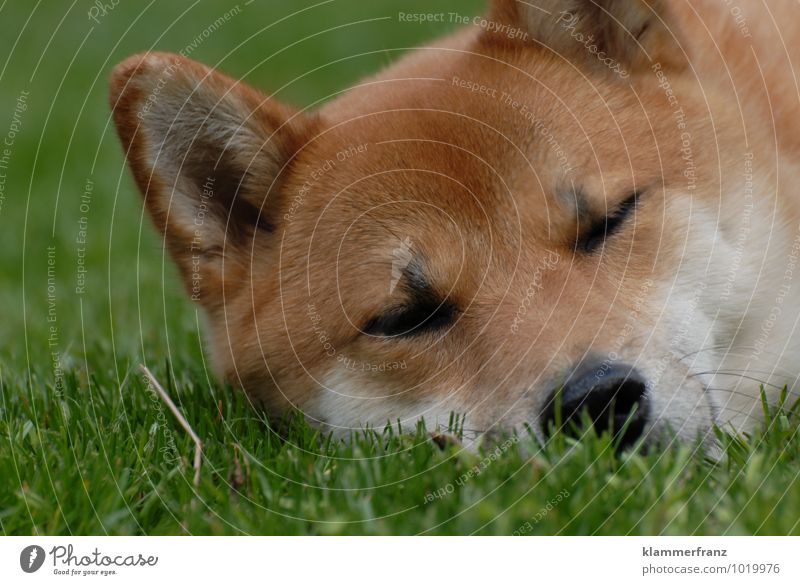 Tired I am... Dog 1 Animal Sleep Friendliness Happy Cute Brown Green White Contentment Beautiful Watchfulness Fatigue To enjoy Colour photo Exterior shot