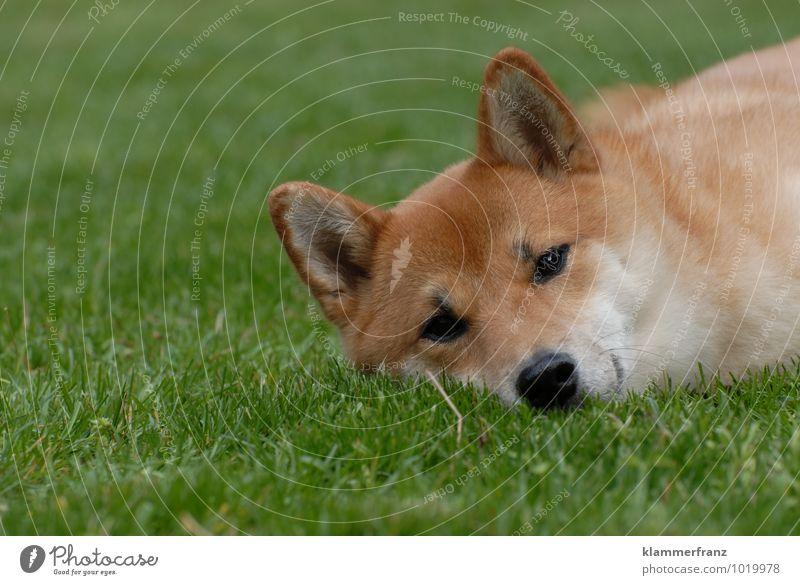 beauty sleep Animal Pet Dog 1 Observe Sleep Wait Friendliness Happiness Healthy Beautiful Funny Natural Curiosity Positive Brown Green Joy Happy Contentment