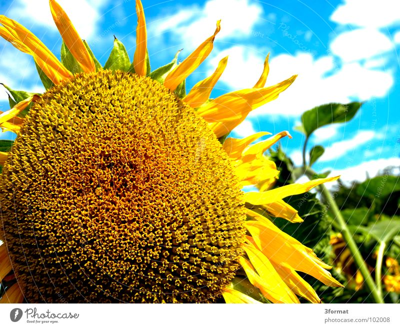 Beautiful Old Sky Sun Flower Green Blue Plant Summer Joy Clouds Nutrition Yellow Blossom Freedom Warmth