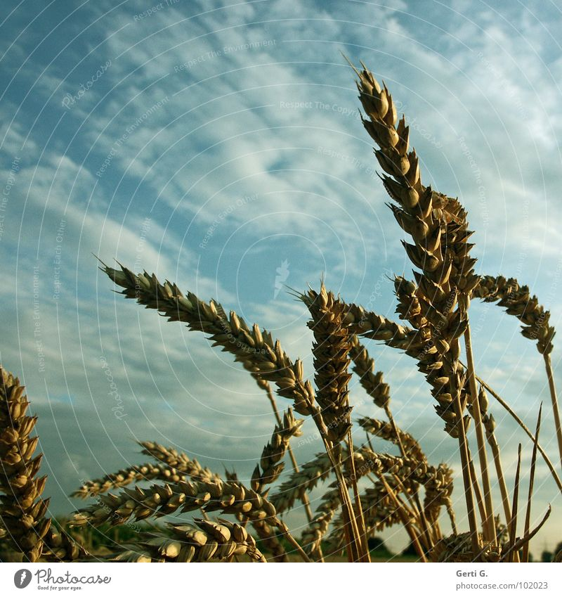 Sky Plant Clouds Calm Field Wild animal Success Fresh Agriculture Dry Grain Harvest Mature Blade of grass Muddled