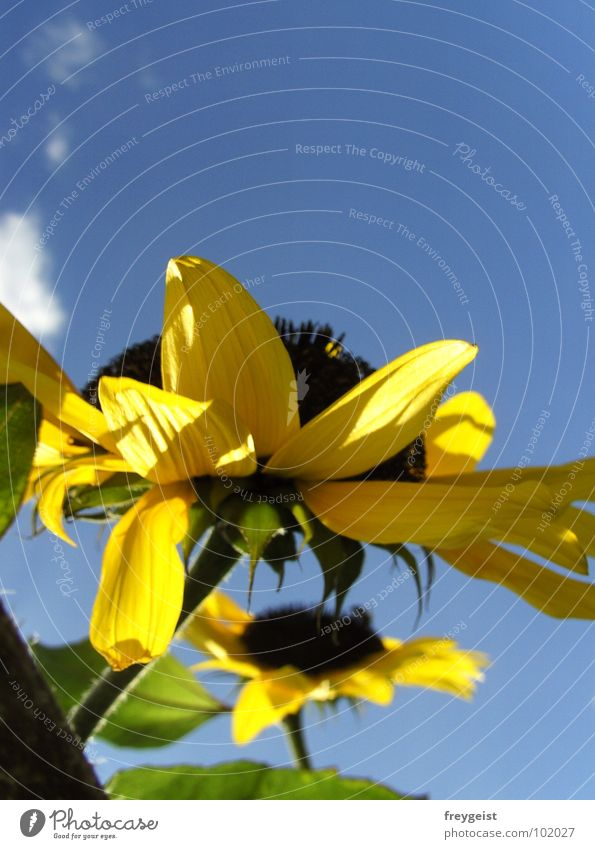 Sky Blue Summer Clouds Yellow Blossom Warmth Perspective Physics Sunflower