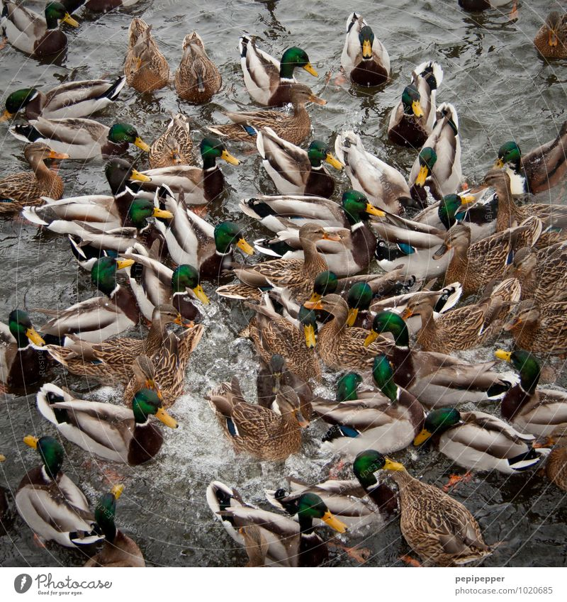 Water Movement Sports Swimming & Bathing Lake Bird Waves Wild animal Wing Group of animals Dive Animal face Zoo Argument To feed Pond