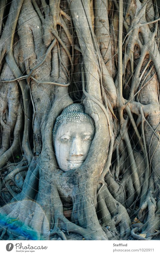 Wat Mahatat Art Sculpture Culture Nature Plant Tree Exotic Temple Wood Might Determination Adventure Ayutthaya Spirit Spirituality Buddhism Trust rootage