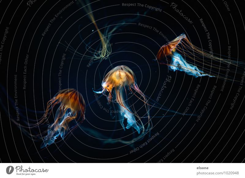 Nature Water Ocean Animal Movement Swimming & Bathing Elegant Esthetic Dangerous Group of animals Hover Flock Aquarium Poison Jellyfish Slimy