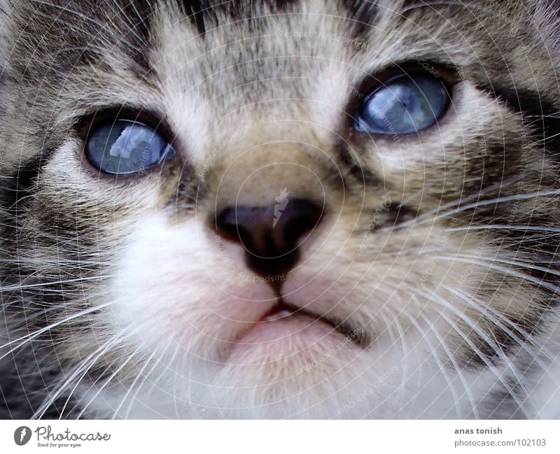 Cat Blue Animal Colour Eyes Playing Small Nose Sweet Cute Soft Curiosity Pelt Pet Interest Mammal
