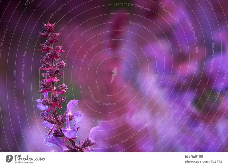 sage Violet Sage Plant Flower Culture Curved Blur Background picture Exterior shot Colour Multicoloured Healthy Macro (Extreme close-up) Close-up Abstract