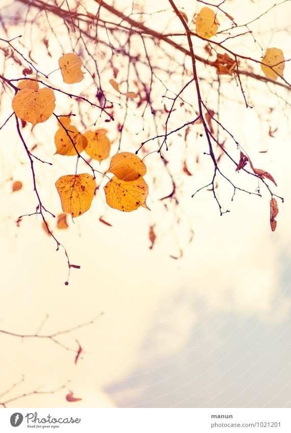 leaf fall Nature Autumn Tree Leaf Twigs and branches Autumnal Autumnal colours Early fall Autumn leaves Bright Natural Brown Yellow Gold Colour photo