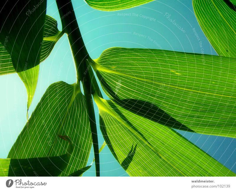 Sky Green Garden Asia China Japan Bamboo Rachis Delicate