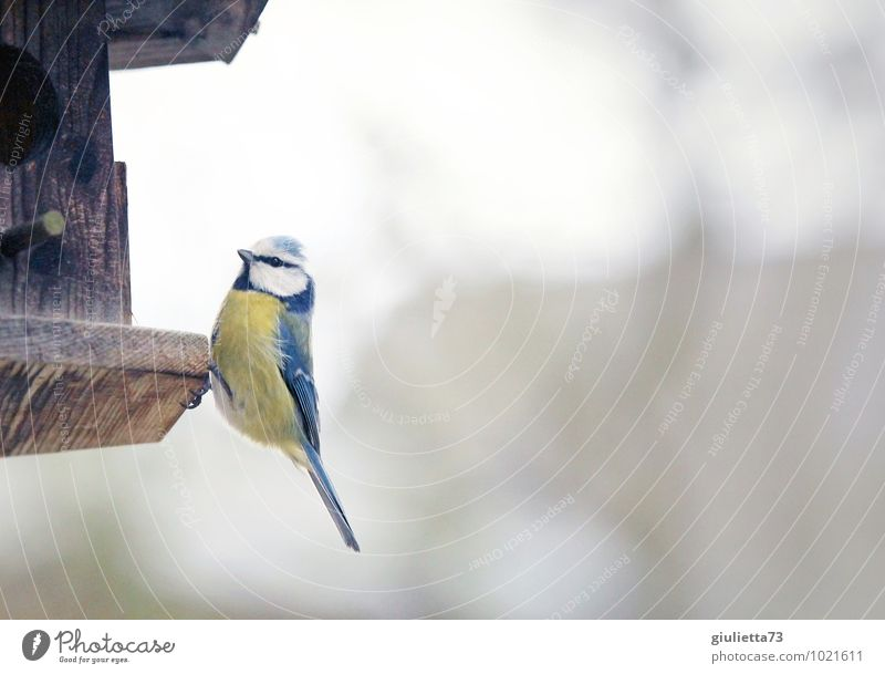 Blue Tit Animal Wild animal Bird Tit mouse Songbirds 1 Birdhouse Feeding area Wood Observe To feed Sit Esthetic Cold Natural Curiosity Brown Yellow White