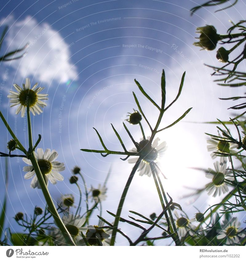 Sky Blue Green Plant Sun Summer Flower Clouds Blossom Lamp Lighting Healthy Field Tall Growth Blossoming