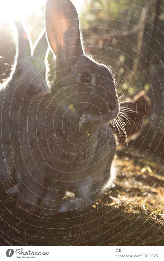 Animal Natural Cute Soft Curiosity Pelt Pet Hare & Rabbit & Bunny Easter Bunny Free-range rearing Hare ears