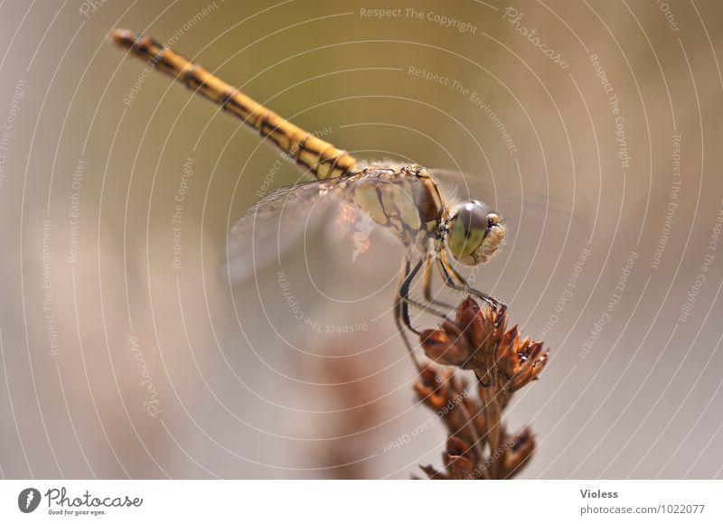 acrobatic Animal Nature Natural Brown Dragonfly Colour photo Exterior shot Macro (Extreme close-up) Deserted Day Sunlight Blur Insect Sympetrum dragonfly