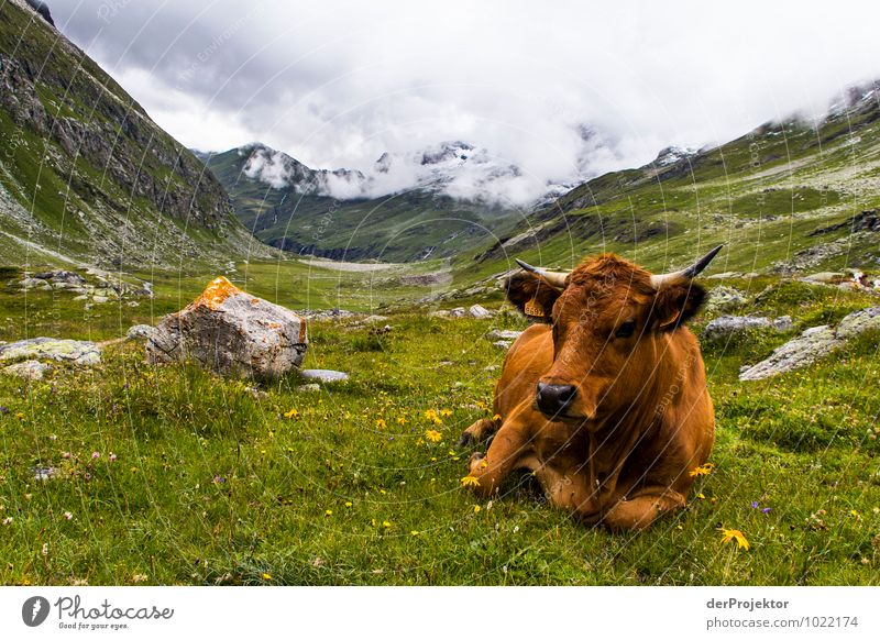 Portrait: Lying Alpine cow Vacation & Travel Tourism Mountain Hiking Environment Nature Landscape Plant Animal Elements Storm clouds Summer Bad weather Meadow